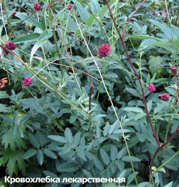 Дезинфицирующие и бактерицидные растения, КРОВОХЛЕБКА ЛЕКАРСТВЕННАЯ, фото