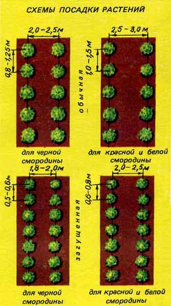 Стандартная схема посадки 2(1,5) X 1 0.5) м. Куст красной смородины, как отмечалось, более долговечный и более...