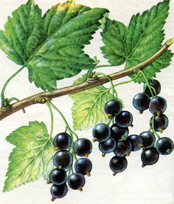 Смородина черная сорт голубка фото