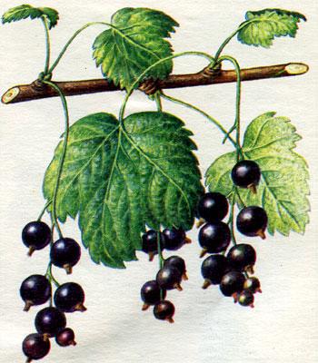 Как выглядит черная смородина сорт черная Лисавенко, фото.