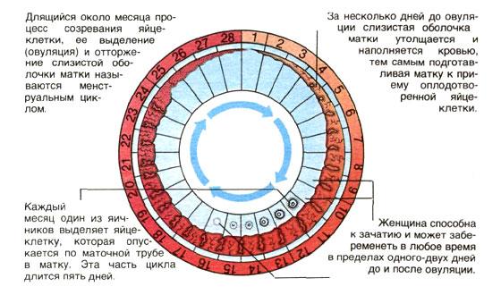 менструальный цикл в картинках