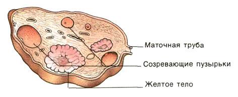 Поперечный разрез яичника