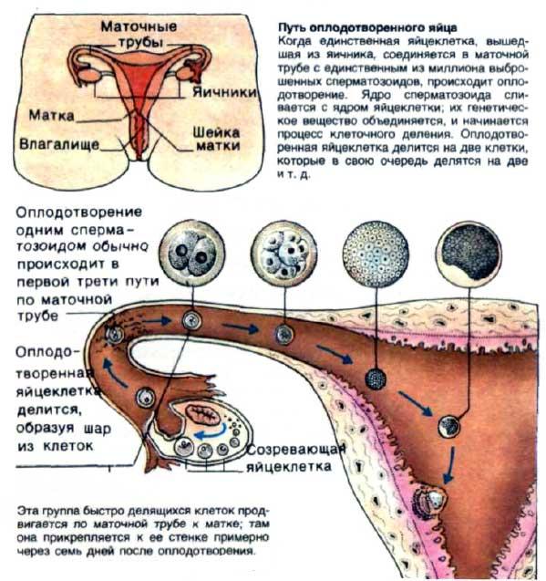 v-kakom-yaytse-obrazuetsya-sperma