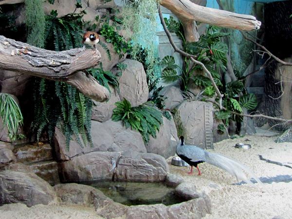 фазаны. Фото