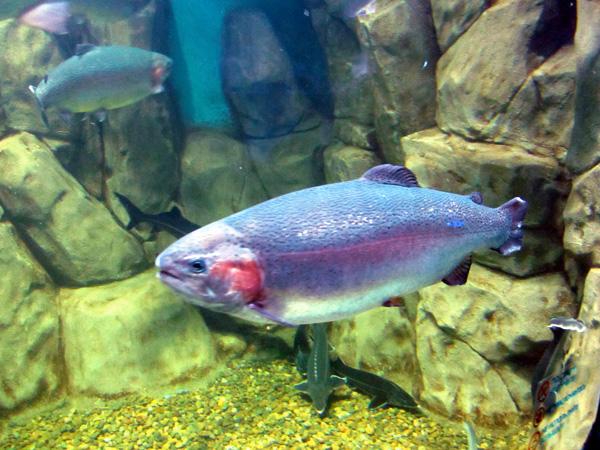 Фото рыб московского океанариума, Радужная форель