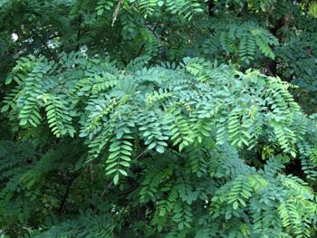 Акация как декоративное растение, виды, размножение: http://www.bankreceptov.ru/provision/decorative/decorative-0024.shtml