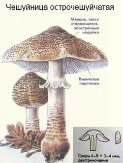 чешуйница фото гриб
