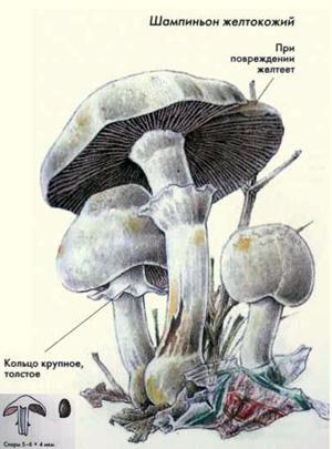 также нарисовать гриб в разрезе отстирать