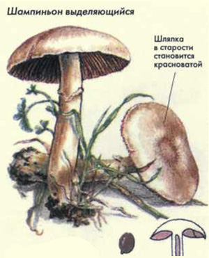 своей нарисовать гриб в разрезе же