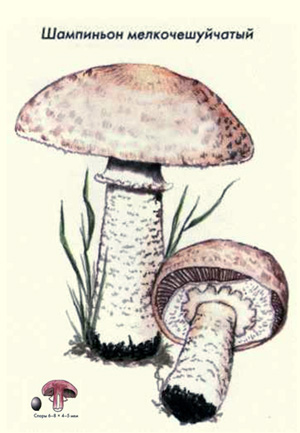 нарисовать гриб в разрезе Guahoo Известная финская