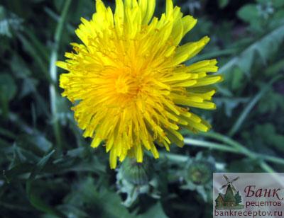 Цветы одуванчика при сахарном диабете