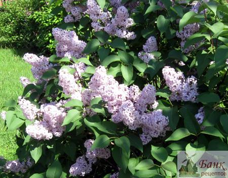 Фото цветы сирени