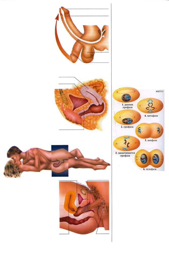 Вхождения полового члена в влагалище
